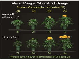 Figure 1. The effects of average daily temperature and daily light integral (DLI) on time to flower in African marigold 'Moonstruck Orange.' Plugs and plants were grown under a 16-hour photoperiod.