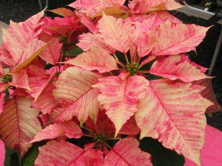 Poinsettia Variety Favorites Of 2010