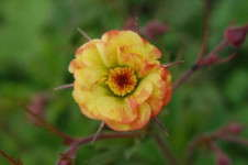 Intrinsic Perennial Gardens Introduces 'Tequila Sunrise' Geum