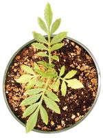 Slideshow: Understanding Plant Nutrition: Low Media-EC