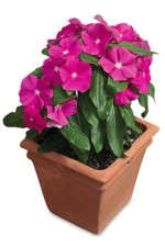 Tips For Producing Vincas