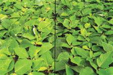 Understanding Plant Nutrition: Poinsettias