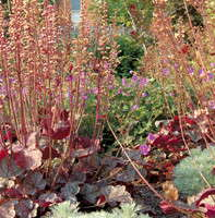 Breeding A Stronger Heuchera