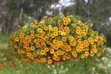 Eight Common Calibrachoa Mistakes