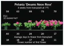 Energy-Efficient Annuals: Petunias Images