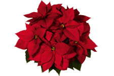 Choosing Poinsettia Varieties For Low-Cost Production