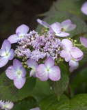 Forever & Ever 'Summer Lace' Hydrangea