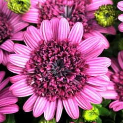 '3D Purple' Osteospermum From Selecta/Ball Horticultural