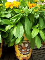 VIVA! Lands 'Tiger Eye' Rudbeckia