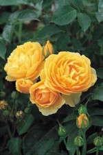 Named World's Favorite Rose