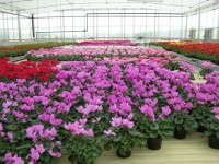Sheets Increase Rose Grower's Competitiveness