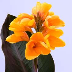 Canna 'Chocolate Sunrise' from PlantHaven