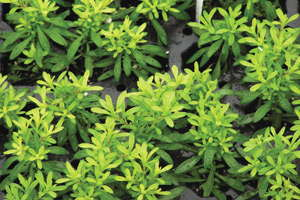 Understanding Plant Nutrition: Calibrachoa