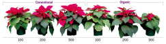 Producing Poinsettias Sustainably Images
