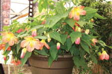 Lucky Lantern Abutilons: Editor's Choice Award Nominee