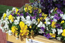 Plentifall Pansies: Editor's Choice Award Nominee