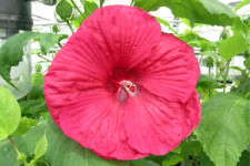 Production Tips For Top Performers: Hibiscus moscheutos