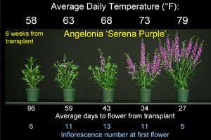 Energy-Efficient Annuals: Angelonia & Browallia