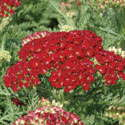 Achillea Tutti Frutti 'Pomegranate' From Blooms Of Bressingham
