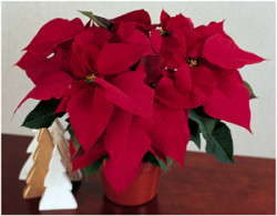 Poinsettia Prowess