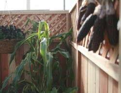 'Field Of Dreams' Decorative Corn Unveiled