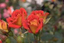 Greenheart Farms' Newest Roses