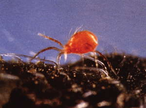 All Predatory Mites Are Not Created Equal