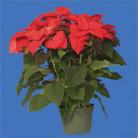 Revisiting Poinsettia Cold Finishing Up North