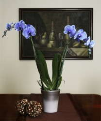 Blue Orchid Debuts From Silver Vase