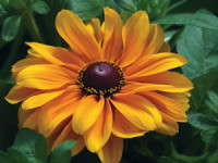 Medal Of Excellence Nominee: Rudbeckia 'Tiger Eye Gold'