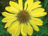 Production Tips For Top Performers: Echinacea 'Sunrise' & 'Harvest Moon'