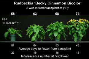 Energy-Efficient Annuals: Rudbeckia & Viola