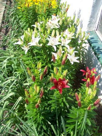 Producing Potted Lilies