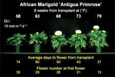 Slideshow: Timing Marigolds