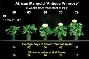 Energy-Efficient Annuals: Timing Marigolds