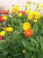 Garvinea Perennial Gerberas Touted For Disease Resistance