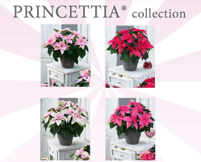 Suntory's New Poinsettia Collection