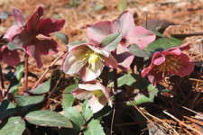 Heckuva Good Hellebore Selection