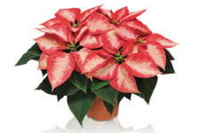 Ice Crystal Poinsettia From Dummen