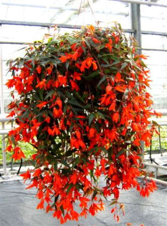 New Begonia From The Optimara Group
