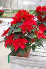 A New Take On Poinsettias