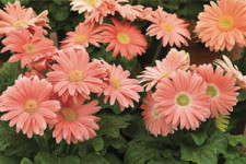 Tips For Producing Gerberas