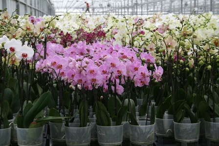 Positive Consumer Experiences Help Advance The Orchid Category At Green Circle Growers