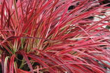 Ornamental Grasses Are Gaining Steam