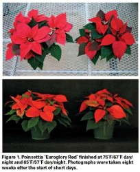 Cold And Sustainable Poinsettia Production