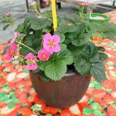 Double Bonus: Strawberries & Flowers