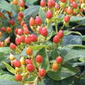 Green Leaf's Hypericum Hypearls Series Wows