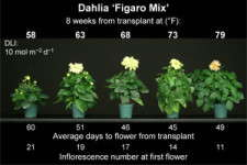 Energy-Efficient Annuals: Dahlia & Osteospermum