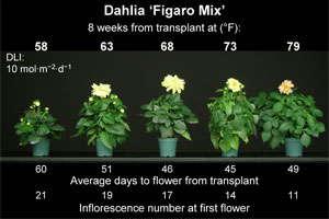Energy-Efficient Annuals: Dahlia & Osteospermum