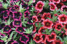 Proven Winners' Superbells Varieties Getting National Attention
